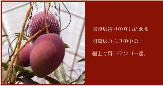 土佐マンゴー 樹上完熟